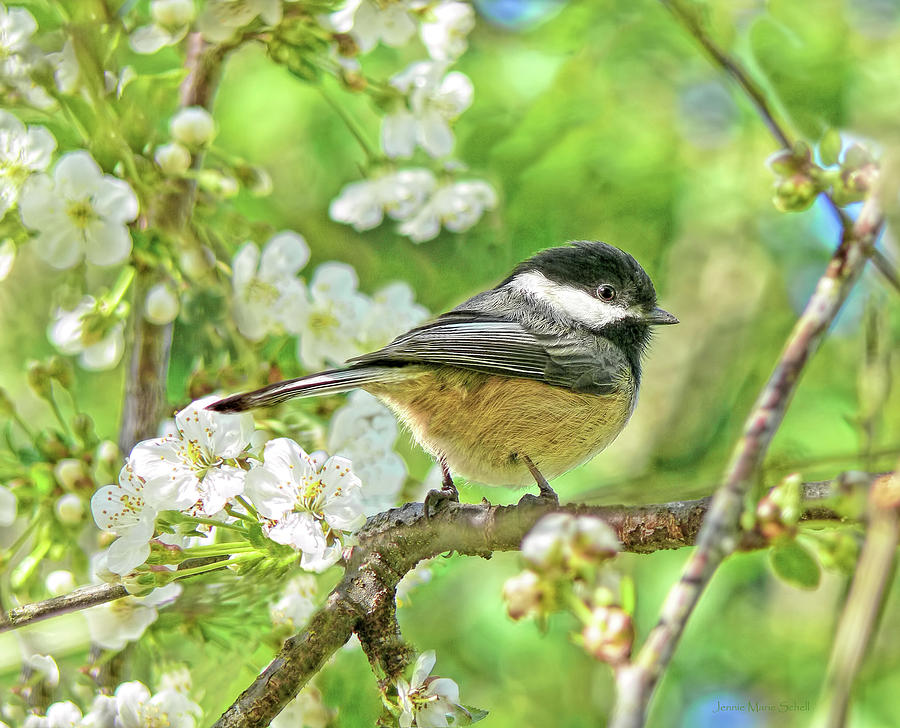 Chickadee Photograph - My Little Chickadee In The Cherry Tree by Jennie Marie Schell