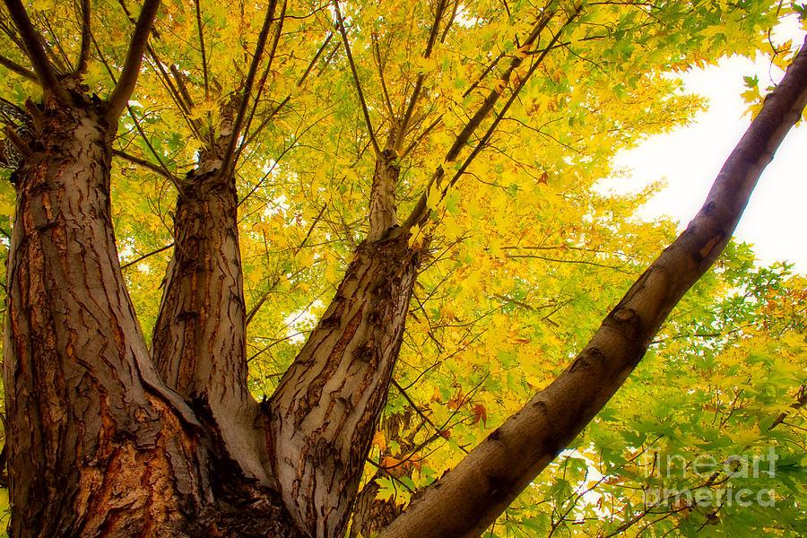 Tree Photograph - My Maple Tree by James BO  Insogna