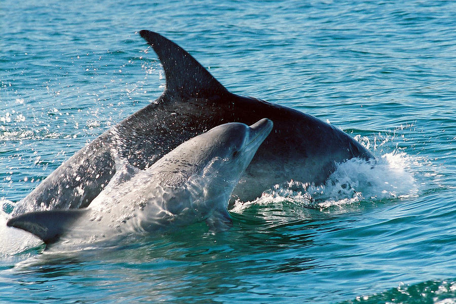 Dolphin Photograph - My Mom And Me by Kenneth Moore