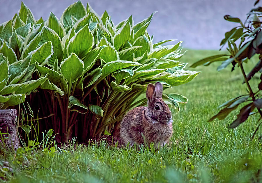 Bunny Photograph - My Peter Rabbit by ChelleAnne Paradis