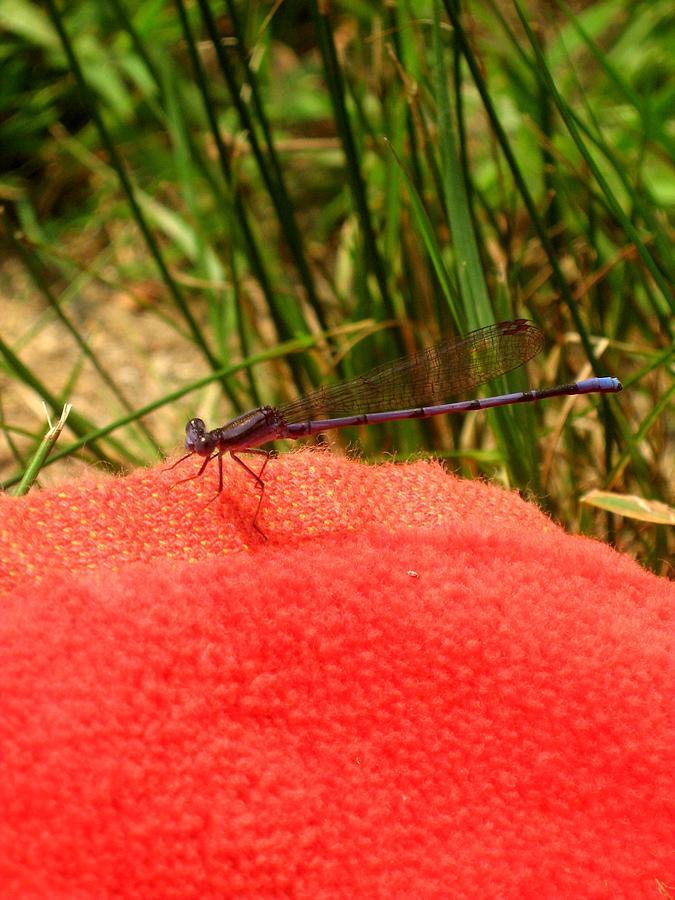 Dragonfly Photograph - My Purple Friend by Menucha Citron