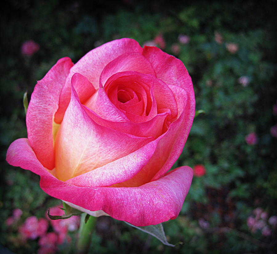 Flowers Photograph - My Special Rose by Bonita Brandt