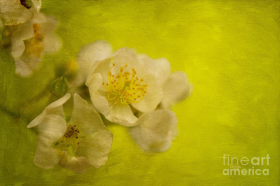 Rose Photograph - My Sweet Wild Rose by Lois Bryan