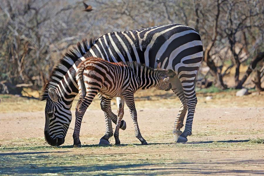 Zebra Photograph - My Valentine by Donna Kennedy