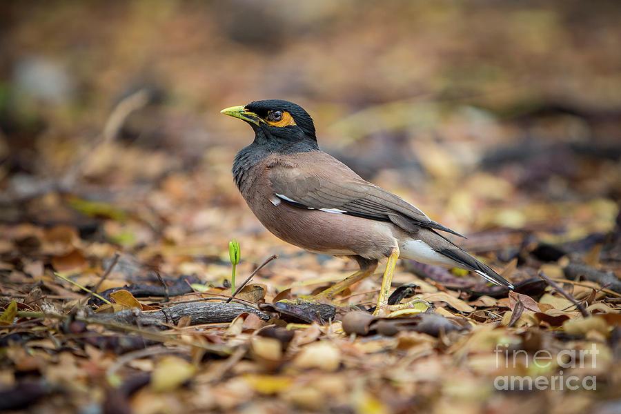 Myna Bird 1 by Daniel Knighton