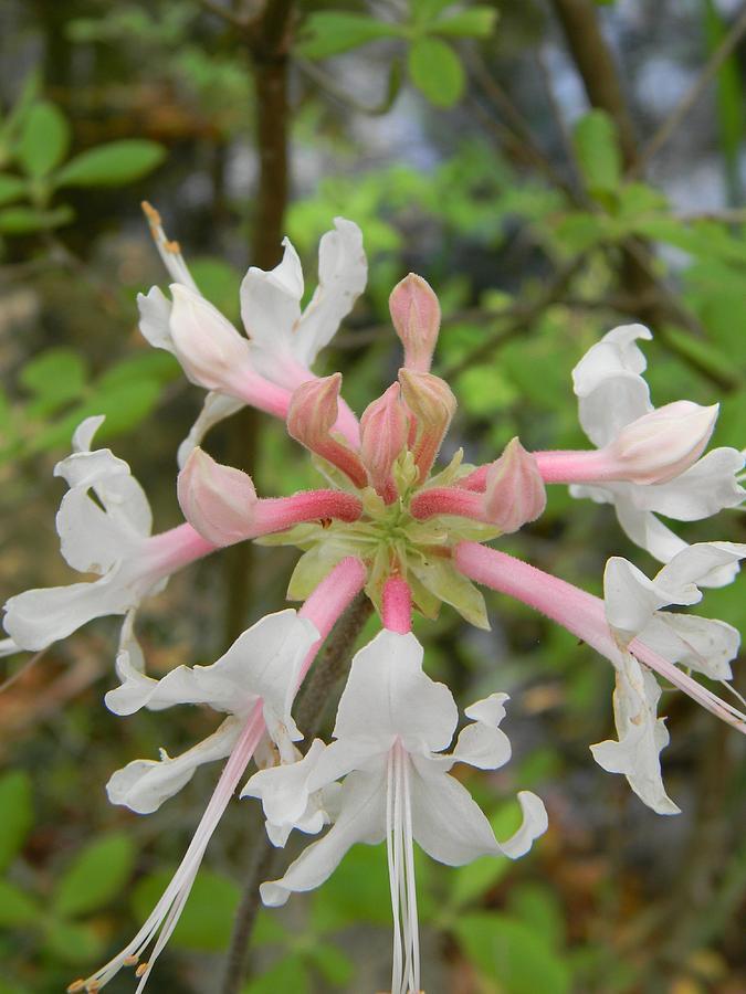Pink Photograph - Mystery Flower Is Florida Pinxter Azalea by Warren Thompson