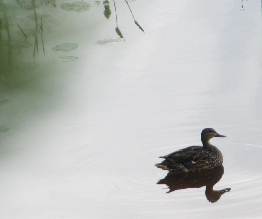 Mystical Duck Photograph by Nancy TeWinkel Lauren
