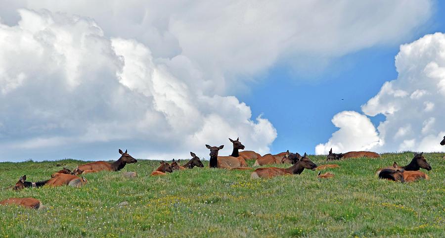 Elk Photograph - Nap Time 2 by Linda Benoit