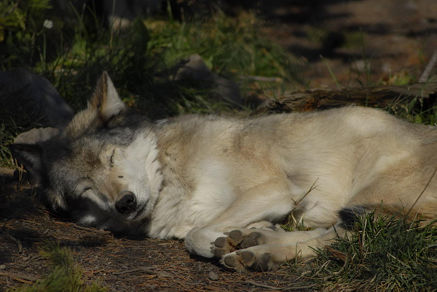Dog Photograph - Nap Time by Curtis Gibson