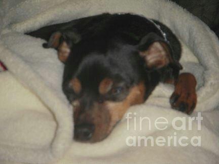 Mini Pinscher Photograph - Nap Time by Deborah Finley