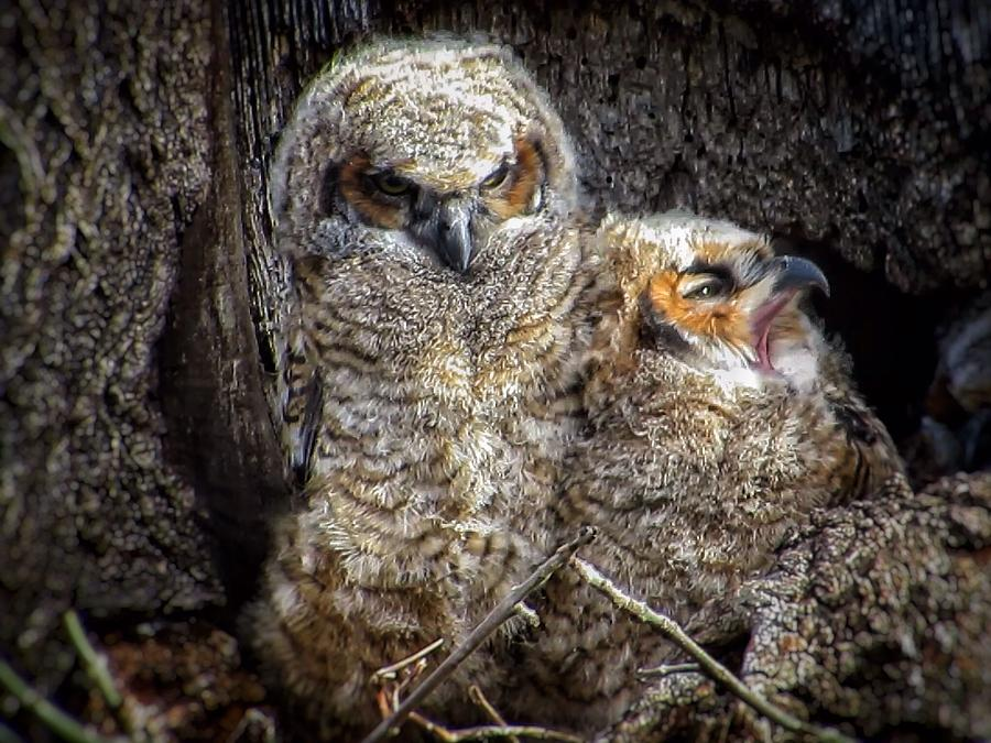 Great Horned Owl Photograph - Nap time by Rrrose Pix
