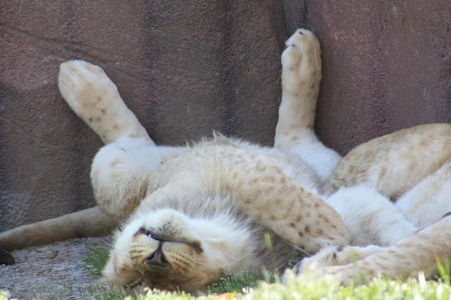 Lion Photograph - Nap Time by Tonya Jones