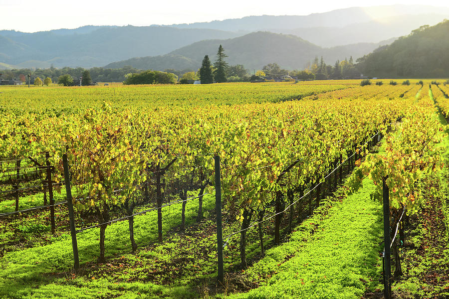 Napa Valley California Vineyard in the Fall by Brandon Bourdages