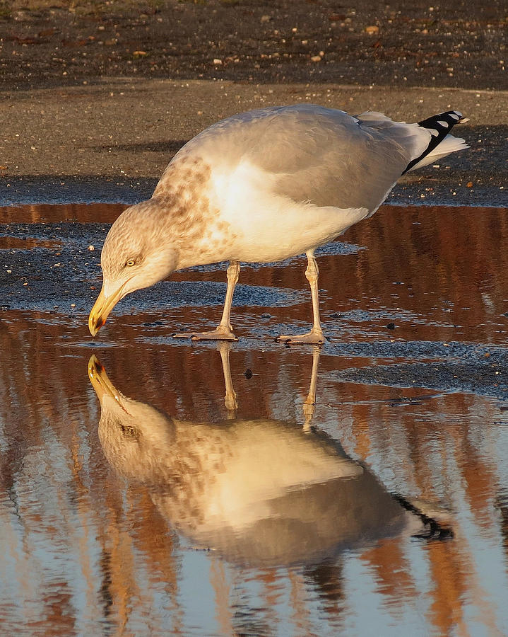 Narcissistic Gull by Bart Blumberg