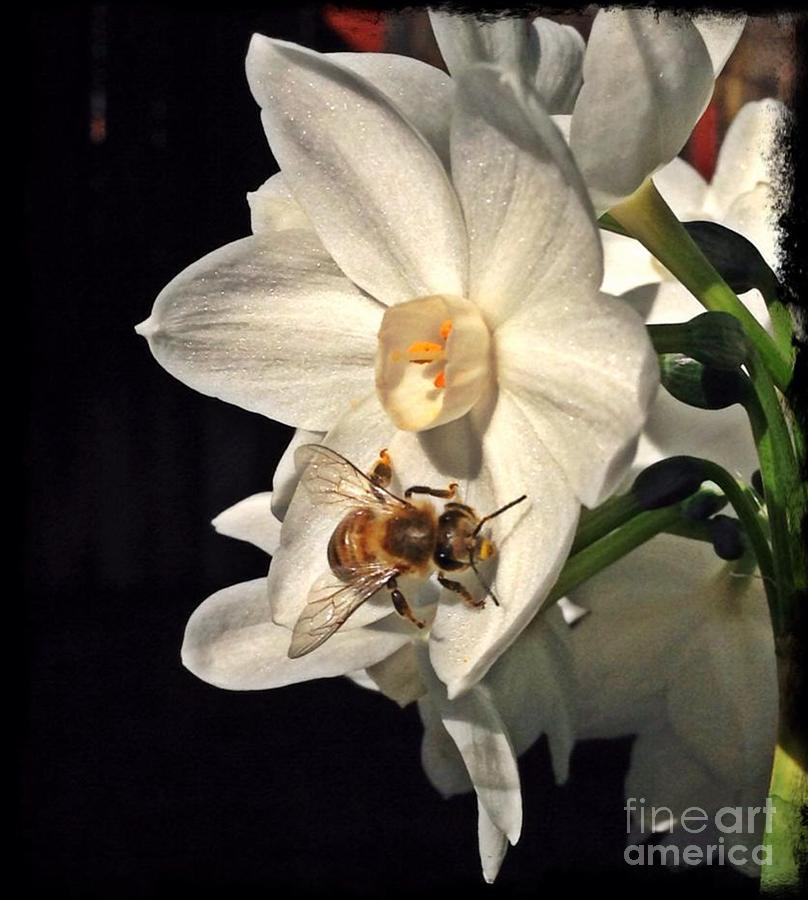 Narcissus Photograph - Narcissus And The Bee 2 by Daniele Smith