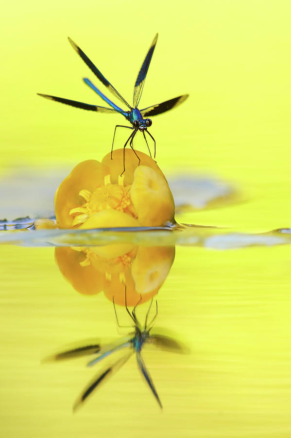 Calopteryx Splendens Photograph - Narcissus - Damselfly Reflected In The River by Roeselien Raimond