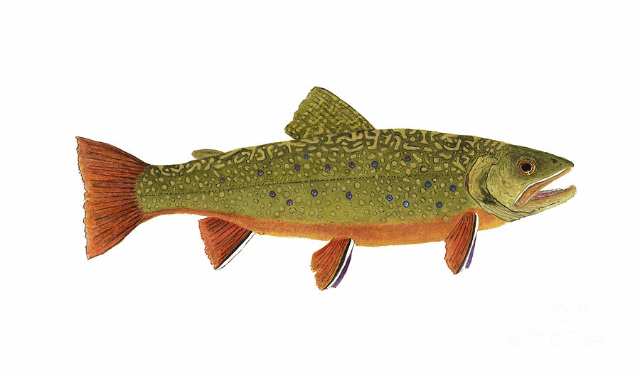 Native Brook Trout by Thom Glace
