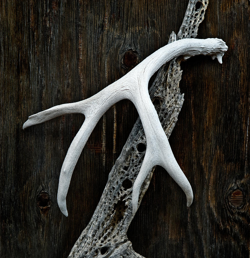 Antler Photograph - Natural Contrast by Murray Bloom