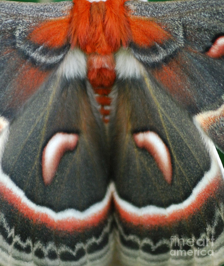 Cecropia Moth Photograph - Natural Creation by Randy Bodkins