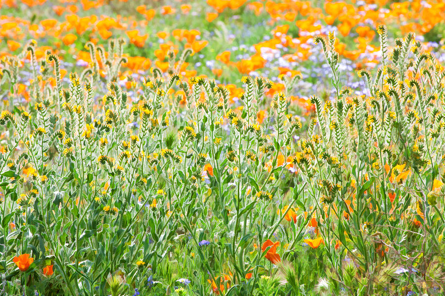 Natures Artwork - California Wildflowers Photograph