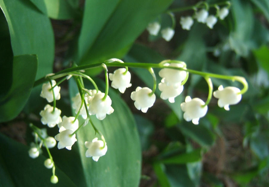 Natures Bells Photograph by Lisa Roy