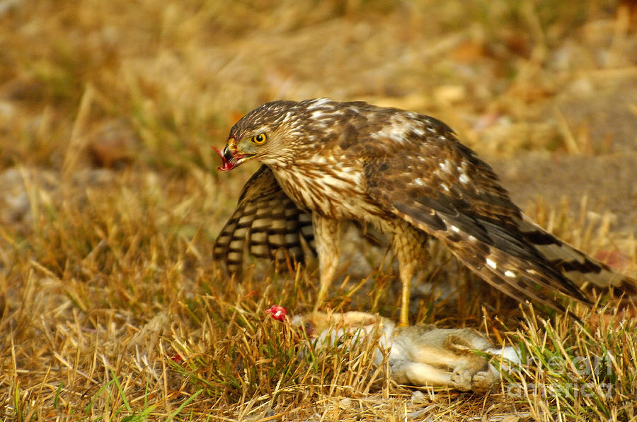 Red Tail Hawk Photograph - Natures Course by Marc Bittan