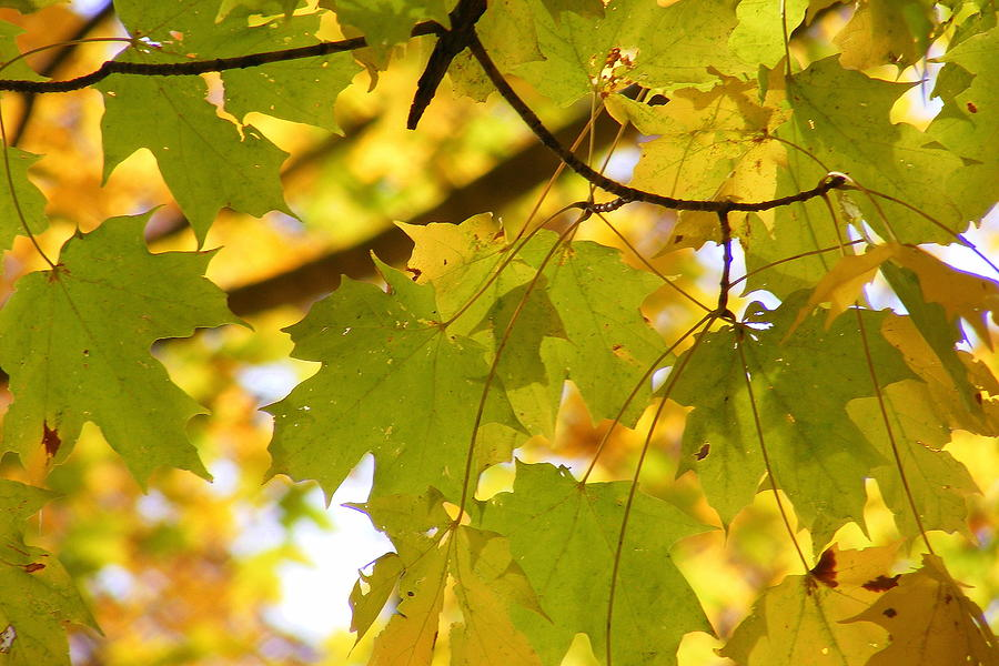 Leaves Photograph - Natures Glow by Ed Smith