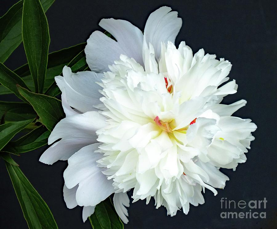Natures Perfection - Festiva Maxima Double White Peony Photograph