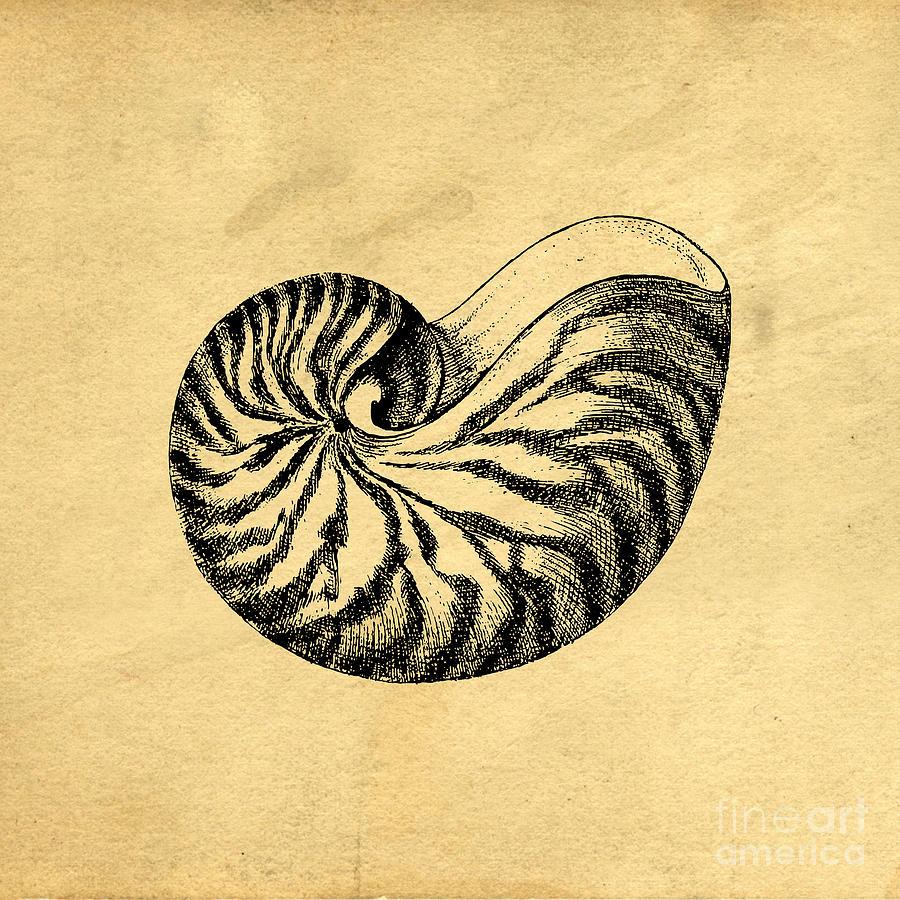 Nautilus Shell Illustration 90901 Loadtve