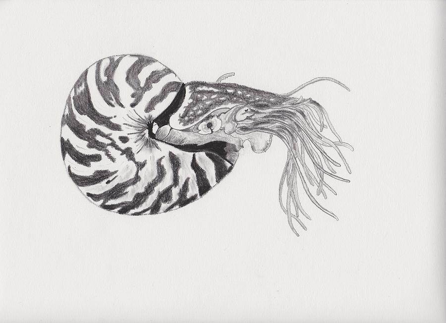 nautilus drawing by tifane worsley