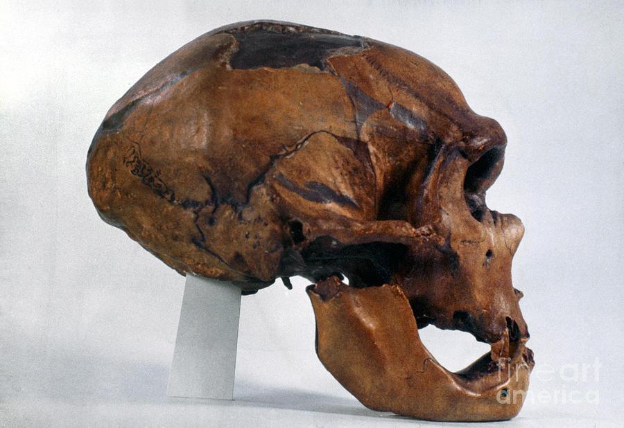 Artifact Photograph - Neanderthal Skull by Granger