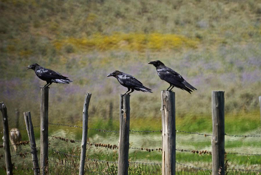 Crows Photograph - Neighborhood Watch Crows by Heather Coen