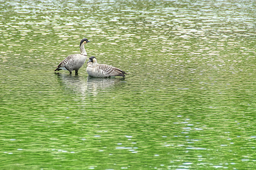 Goose Photograph - Nene On Green Pond by David Lawson