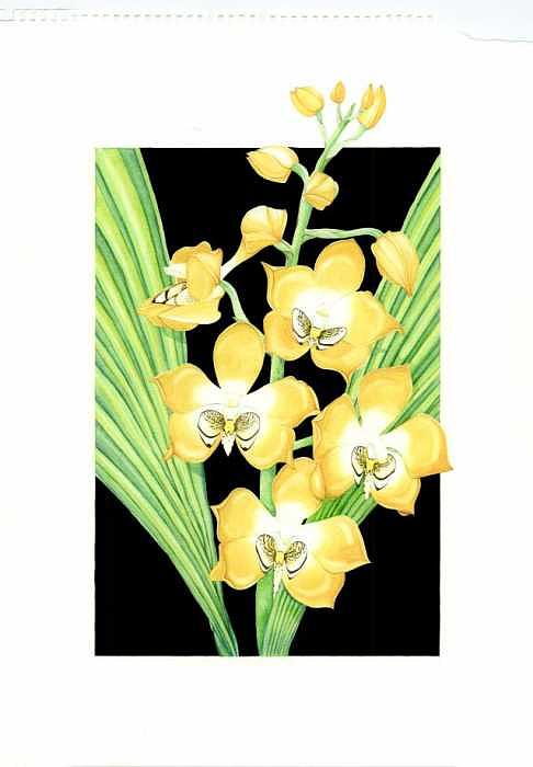 Orchid Painting - Neomoorea Irrorata by Darren James Sturrock