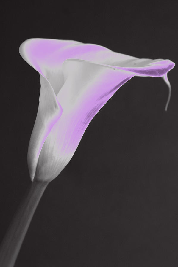 Calla Lilly Photograph - Neon Calla Lilly 4 by Gary Brandes
