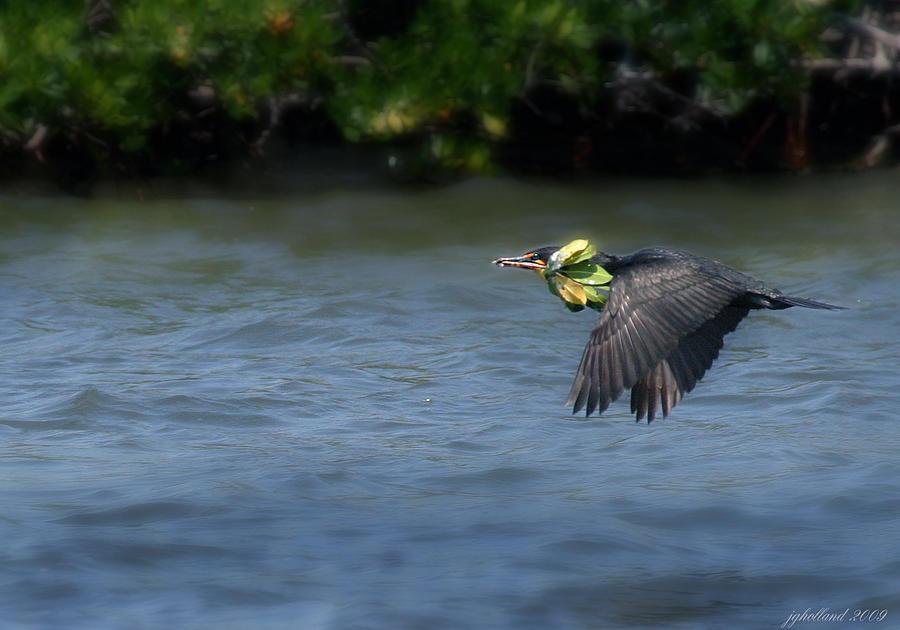 Double Crested Cormorant Photograph - Nest Building by Joseph G Holland