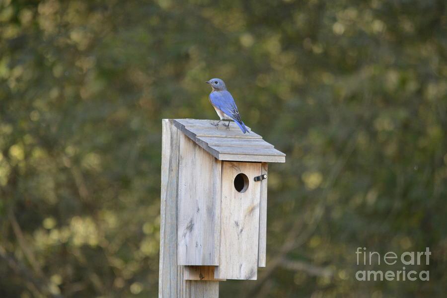 Nesting Eastern Blue Bird 2 by Barb Dalton