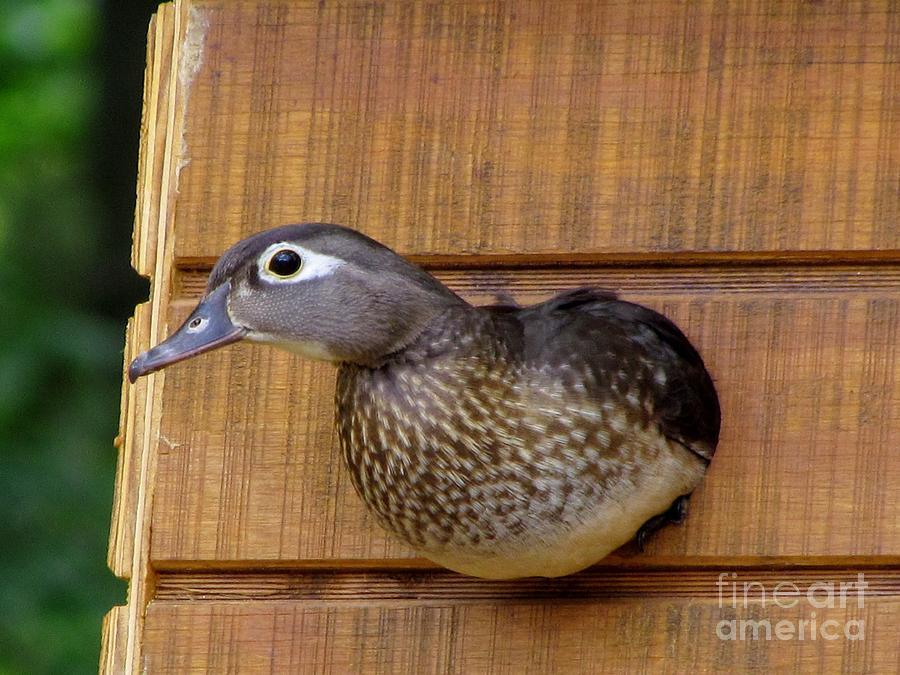 Hen Wood Duck Photograph - Nesting Hen Wood Duck 1 by James Seitzinger