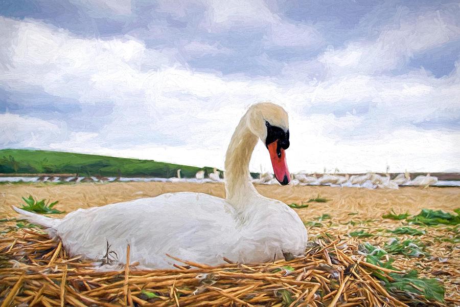 Mute Photograph - Nesting Mute Swan At Abbotsbury - Impressions by Susie Peek