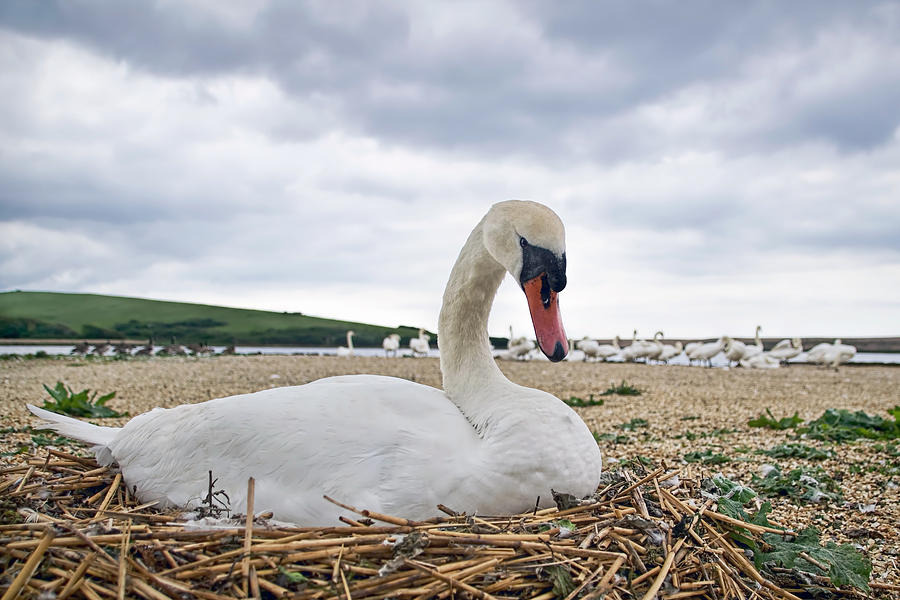 Mute Photograph - Nesting Mute Swan At Abbotsbury by Susie Peek