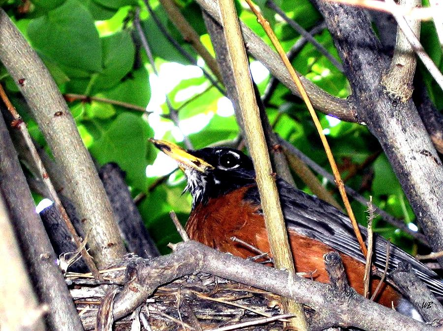Robin Photograph - Nesting Robin by Will Borden