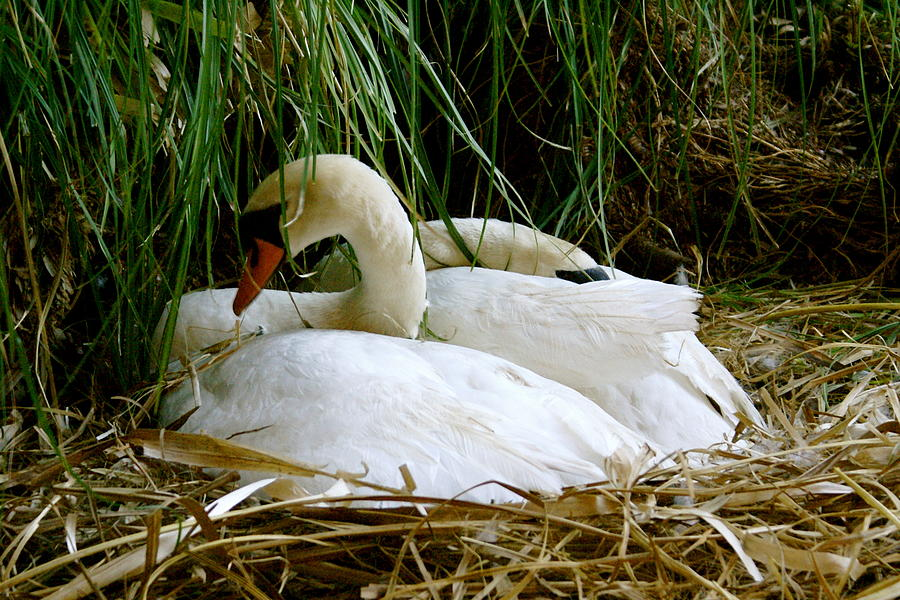 Animals Photograph - Nesting Swans by Sonja Anderson