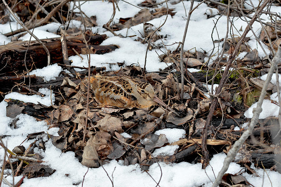 American Woodcock Photograph - Nesting Woodcock She Survived Her Eggs From The Snow by Asbed Iskedjian