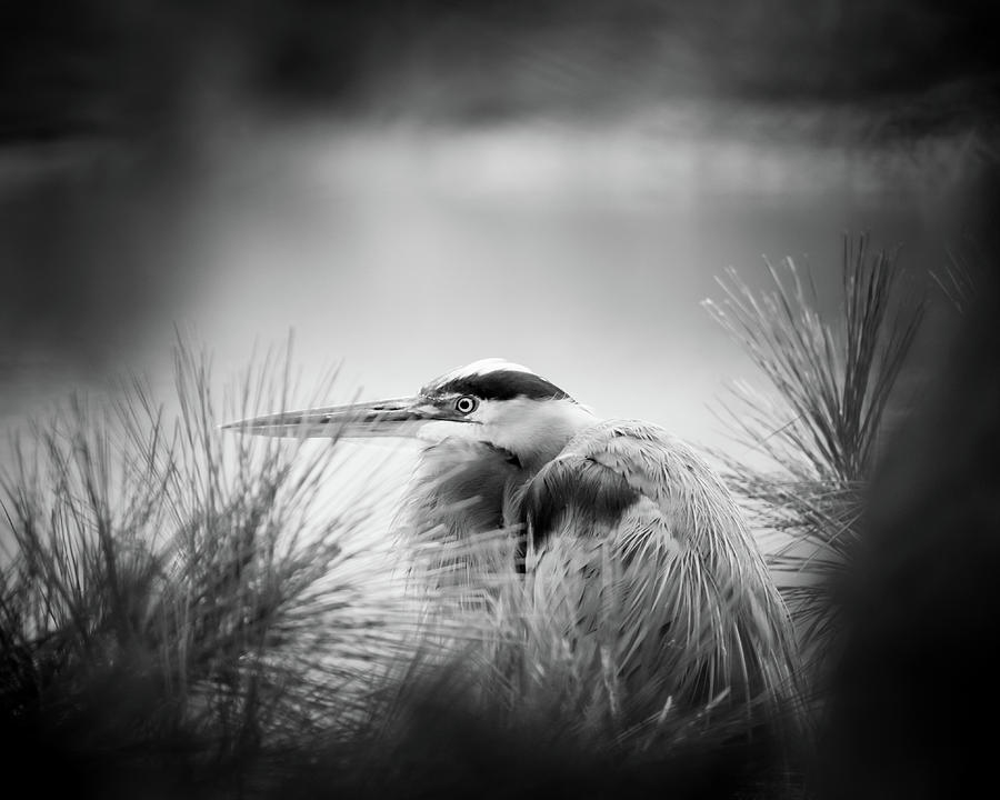 Great Blue Heron Photograph - Nestled in Pine by Michael McStamp