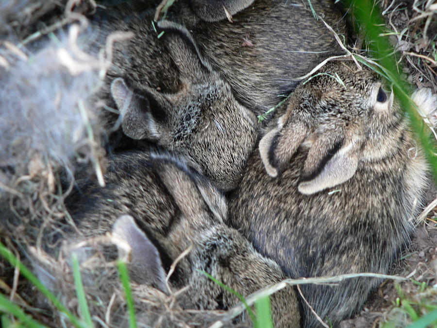 Bunny Photograph - Nestled In Their Den by Laurel Best