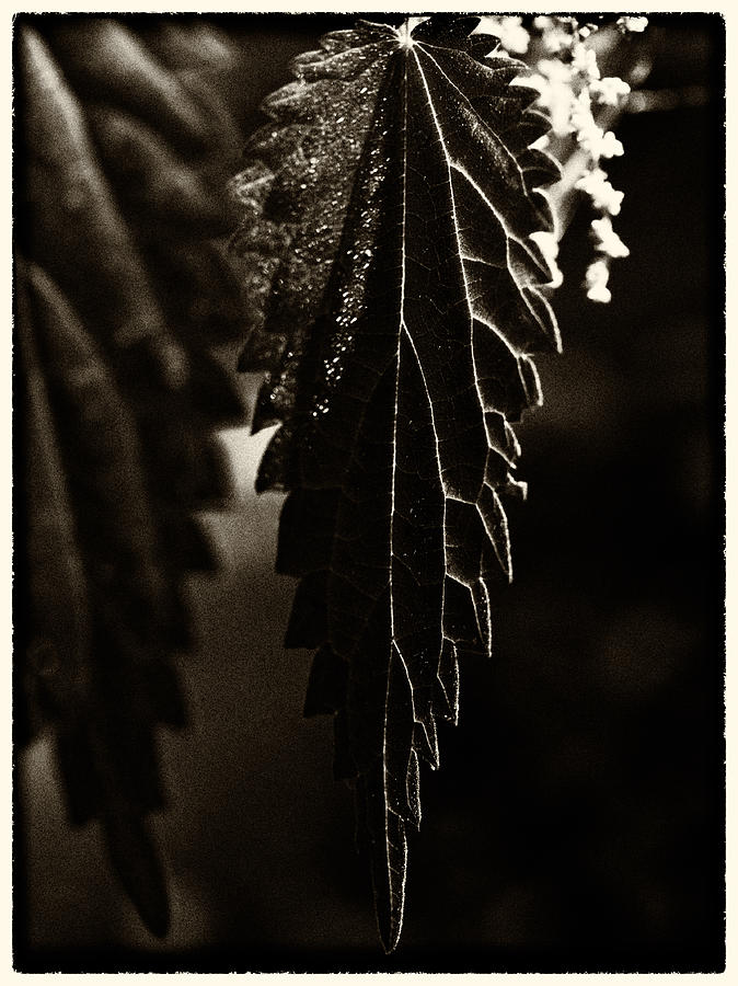 Nettle Leaf In Black Photograph