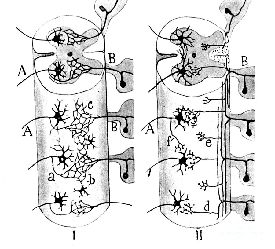 Science Photograph - Neuroglia Cells Illustrated By Cajal by Science Source