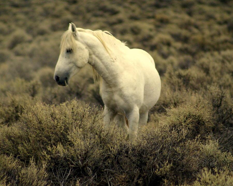 Wild Horses Photograph - Nevada Wild Horses 4 by Marty Koch