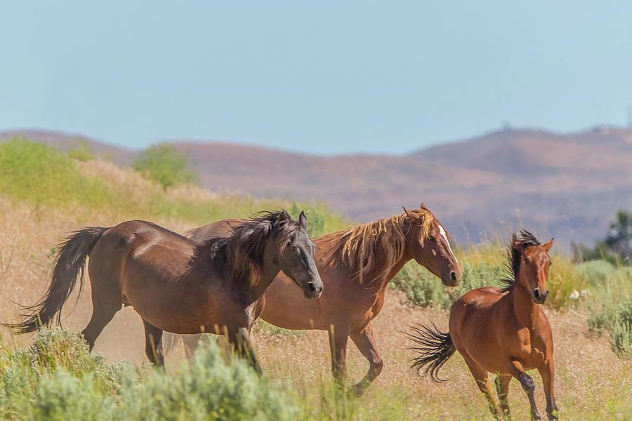 Nevada Wild Horses  by Marc Crumpler