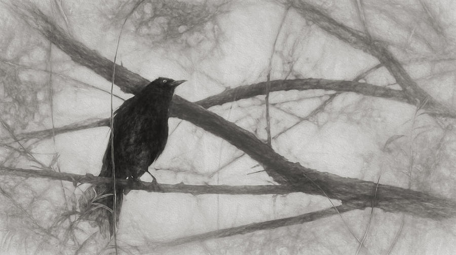 Brewer Blackbird Photograph - Nevermore by Melinda Wolverson